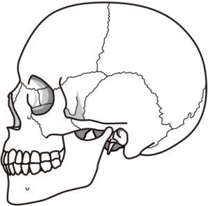 骨活クイズ 頭の骨の形はどうして丸いのでしょうか?